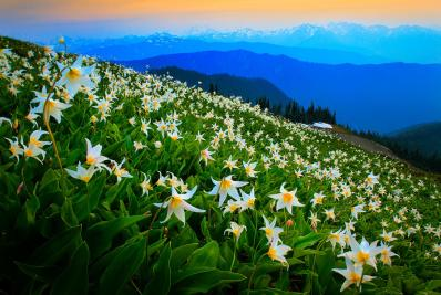 field-of-avalanche-lilies-inge-johnsson